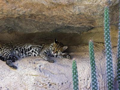 Ocelot Resting in the Shade of a Cave. Arizona, USA