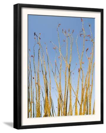 Ocotillo in Flower. Organ Pipe Cactus National Monument, Arizona, USA by Philippe Clement