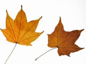 Painted Maple Leaves in Autumn Colours, Native to Korea, Japan, Manchuria, Usa and Canada by Philippe Clement