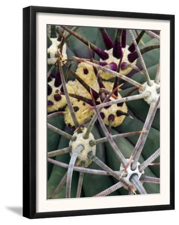 Pima Pineapple Cactus, Close-Up of Spines. Organ Pipe Cactus National Monument, Arizona, USA