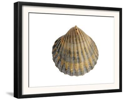 Poorly Ribbed Cockle Shell, Normandy, France by Philippe Clement