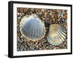 Poorly Ribbed Cockle Shells Separed to Show the Inside and the Outside, Normandy, France by Philippe Clement