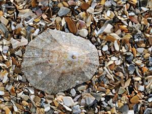 Rayed Mediterranean Limpet Shell on Beach, Mediterranean, France by Philippe Clement