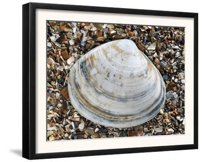 Rayed Trough Shell on Beach, Belgium