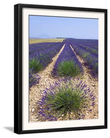 Row of Cultivated Lavender in Field in Provence, France. June 2008