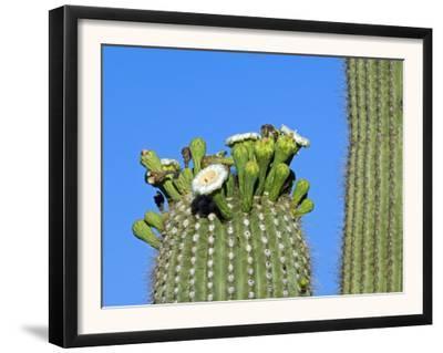 Saguaro Cactus Buds and Flowers in Bloom, Organ Pipe Cactus National Monument, Arizona, USA