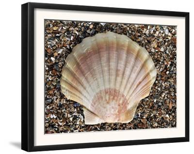 Scallop Shell on Beach, Normandy, France