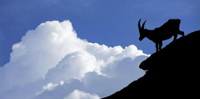Silhouette of Alpine Ibex (Capra Ibex) Against Thunderstorm Clouds