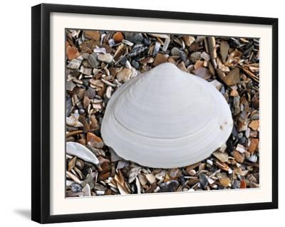 Surf Clam Shell on Beach, Belgium