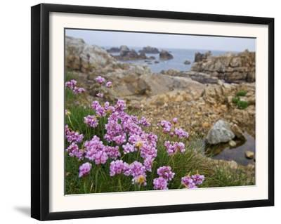 Thrift Sea Pink in Flower Among Rocks at Plougrescant, Brittany, France