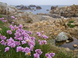 Thrift Sea Pink in Flower Among Rocks at Plougrescant, Brittany, France by Philippe Clement