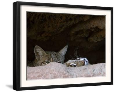 Two American Bobcats Peering over Rock in Cave. Arizona, USA