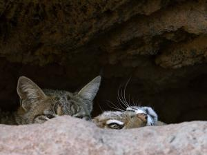 Two American Bobcats Peering over Rock in Cave. Arizona, USA by Philippe Clement