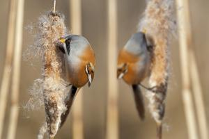 Two Male Bearded Reedling (Panurus Biarmicus) Eating Seeds From A Common Bulrush (Typha Latifolia) by Philippe Clement