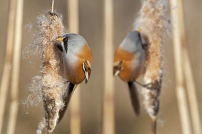 Two Male Bearded Reedling (Panurus Biarmicus) Eating Seeds From A Common Bulrush (Typha Latifolia)