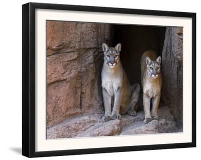 Two Puma Mountain Lion Cougar at Cave Entrance. Arizona, USA