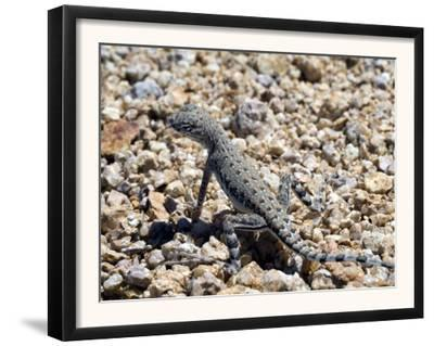 Zebra-Tailed Lizard. Saguaro National Park, Arizona, USA