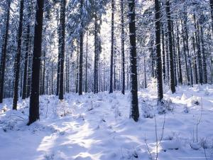 Forest in Winter, Alsace, France by Philippe Henry