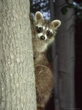 Raccoon, Province of Quebec, Canada by Philippe Henry