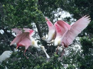 Roseate Spoonbills, Aggressive Behaviour, Texas, USA by Philippe Henry