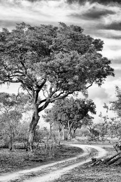 Awesome South Africa Collection B&W - African Landscape with Acacia Tree VIII by Philippe Hugonnard