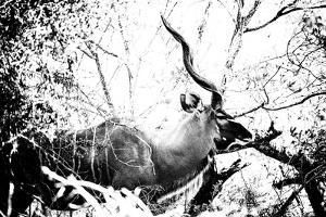 Awesome South Africa Collection B&W - Black Faced Impala by Philippe Hugonnard