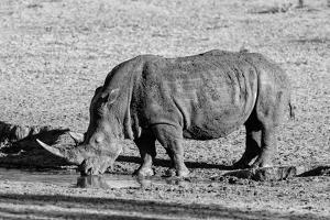 Awesome South Africa Collection B&W - Black Rhinoceros II by Philippe Hugonnard