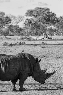 Awesome South Africa Collection B&W - Black Rhinoceros with Oxpecker II by Philippe Hugonnard