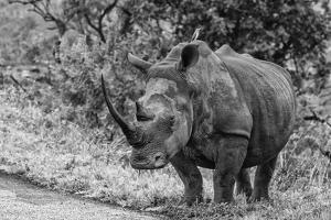 Awesome South Africa Collection B&W - Black Rhinoceros with Oxpecker III by Philippe Hugonnard
