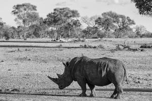 Awesome South Africa Collection B&W - Black Rhinoceros with Oxpecker by Philippe Hugonnard