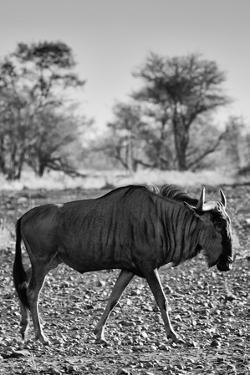 Awesome South Africa Collection B&W - Blue Wildebeest II by Philippe Hugonnard