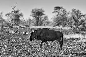 Awesome South Africa Collection B&W - Blue Wildebeest by Philippe Hugonnard