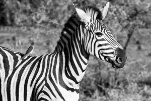 Awesome South Africa Collection B&W - Burchell's Zebra with Oxpecker III by Philippe Hugonnard