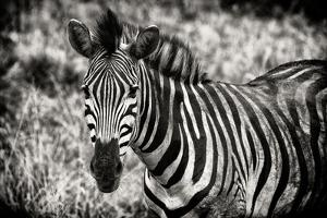 Awesome South Africa Collection B&W - Close-up of Burchell's Zebra by Philippe Hugonnard