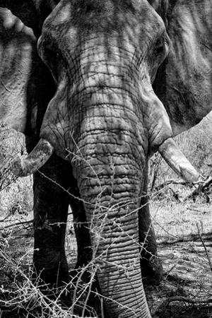 Awesome South Africa Collection B&W - Elephant Portrait IX by Philippe Hugonnard