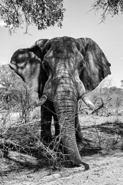 Awesome South Africa Collection B&W - Elephant Portrait V by Philippe Hugonnard