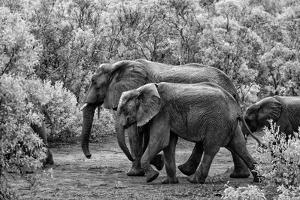 Awesome South Africa Collection B&W - Family of Elephants by Philippe Hugonnard