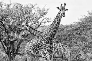Awesome South Africa Collection B&W - Giraffe Mother and Young IV by Philippe Hugonnard