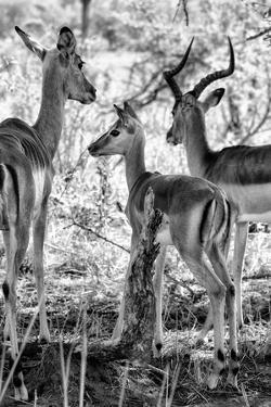 Awesome South Africa Collection B&W - Impalas Family II by Philippe Hugonnard