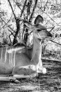 Awesome South Africa Collection B&W - Nyala Antelope II by Philippe Hugonnard