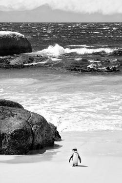 Awesome South Africa Collection B&W - Penguin at Boulders Beach by Philippe Hugonnard