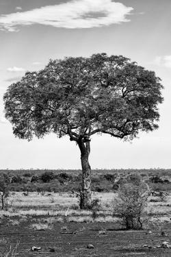Awesome South Africa Collection B&W - Portrait of an Acacia Tree II by Philippe Hugonnard