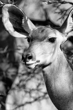 Awesome South Africa Collection B&W - Portrait of Nyala Antelope IV by Philippe Hugonnard