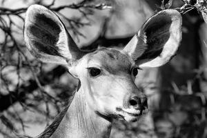 Awesome South Africa Collection B&W - Portrait of Nyala Antelope VI by Philippe Hugonnard