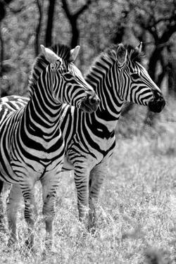Awesome South Africa Collection B&W - Two Burchell's Zebras II by Philippe Hugonnard