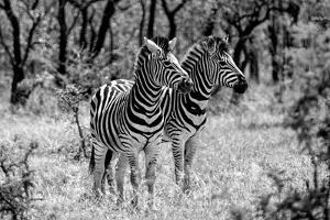 Awesome South Africa Collection B&W - Two Burchell's Zebras by Philippe Hugonnard