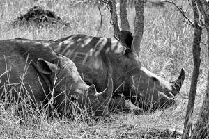 Awesome South Africa Collection B&W - Two White Rhino slepping by Philippe Hugonnard