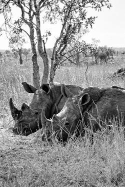 Awesome South Africa Collection B&W - Two White Rhinoceros III by Philippe Hugonnard