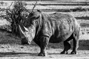 Awesome South Africa Collection B&W - White Rhinoceros by Philippe Hugonnard