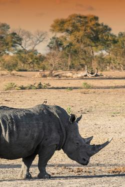 Awesome South Africa Collection - Black Rhinoceros and Savanna Landscape at Sunset I by Philippe Hugonnard